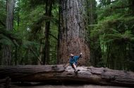 in the rainforest: cathedral grove